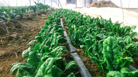 Over-Wintered Spinach